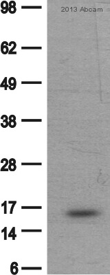 Western blot - Anti-Histone H2A antibody (ab88770)