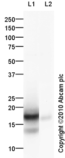 Western blot - Histone H2A antibody (ab88770)