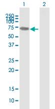 Western blot - GBP1 antibody (ab88836)