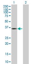 Western blot - Annexin A1 antibody (ab88865)