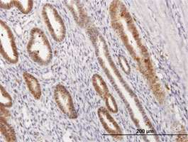 Immunohistochemistry (Formalin/PFA-fixed paraffin-embedded sections) - Annexin A1 antibody (ab88865)