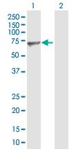 Western blot - Nucleostemin antibody (ab88882)