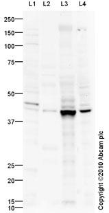 Western blot - ADK antibody (ab88903)