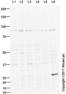 Western blot - XPR1 antibody (ab88911)