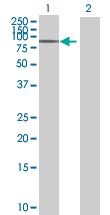 Western blot - C16orf9 antibody (ab88954)