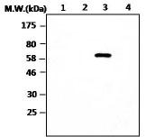 Western blot - RPTP mu antibody [T10-AF1A8] (ab88955)