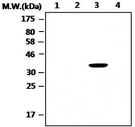 Western blot - PCPTP1 antibody [T10-AF4H11] (ab88958)