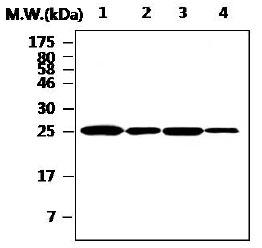 Western blot - Cathepsin H antibody [AF14D7] (ab88960)