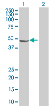 Western blot - ORC4L antibody (ab88999)