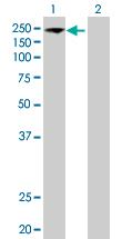 Western blot - EIF5B antibody (ab89016)