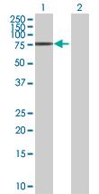 Western blot - XPNPEP1 antibody (ab89027)