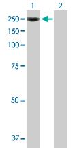 Western blot - CBF antibody (ab89034)