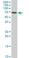 Western blot - KLC4 antibody (ab89040)