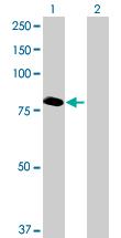 Western blot - ABCF3 antibody (ab89041)