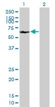 Western blot - A1CF antibody (ab89050)
