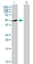 Western blot - C9orf68 antibody (ab89115)