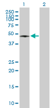 Western blot - RASSF8 antibody (ab89141)