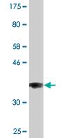 Western blot - COG3 antibody [n/a] (ab89172)