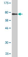 Western blot - MURF2 antibody [n/a] (ab89174)