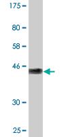 Western blot - GCET2 antibody (ab89180)