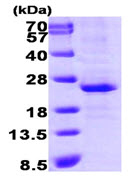 SDS-PAGE - Lin28 protein (His tag) (ab89225)