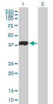 Western blot - Human Milk Fat Globule 1 antibody (ab89232)
