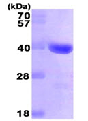 SDS-PAGE - GAL4 protein (His tag) (ab89234)