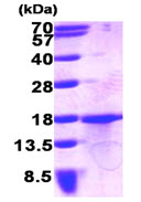 SDS-PAGE - GDF15 protein (His tag) (ab89235)