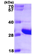 SDS-PAGE - FADD protein (His tag) (ab89242)