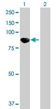 Western blot - KIF3B antibody (ab89278)
