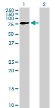 Western blot - FRMD3 antibody (ab89287)