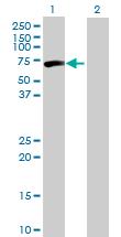 Western blot - CPNE3 antibody (ab89288)