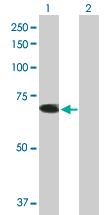 Western blot - TRIM26 antibody (ab89290)