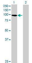Western blot - GRASP1 antibody (ab89349)