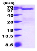 SDS-PAGE - Smad3 protein (His tag) (ab89353)