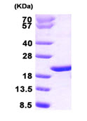 SDS-PAGE - p23 protein (Human) (ab89361)