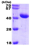 SDS-PAGE - alpha 1 Antichymotrypsin protein (His tag) (ab89363)