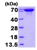 SDS-PAGE - HSPA6 protein (His tag) (ab89366)