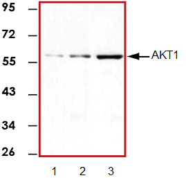 Western blot - AKT1 antibody [9A4] (ab89402)