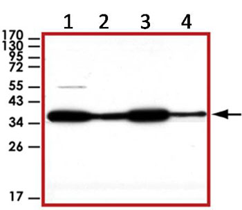 Western blot - GAPDH antibody (ab89422)