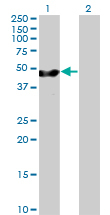 Western blot - EBP1 antibody (ab89439)