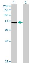 Western blot - ZNF133 antibody (ab89468)