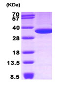 SDS-PAGE - Annexin V protein (Human) (ab89493)