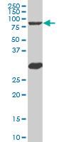 Western blot - B MyB antibody [n/a] (ab89504)
