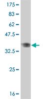 Western blot - B MyB antibody (ab89504)