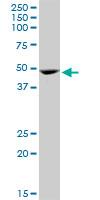 Western blot - GATA1 antibody (ab89505)