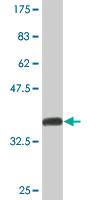 Western blot - NFIC antibody (ab89516)