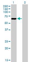 Western blot - ATF7 antibody (ab89523)