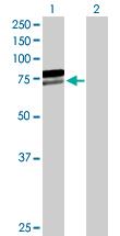 Western blot - AIF antibody (ab89583)