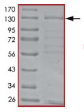 SDS-PAGE - Mps1 protein (Active) (ab89589)